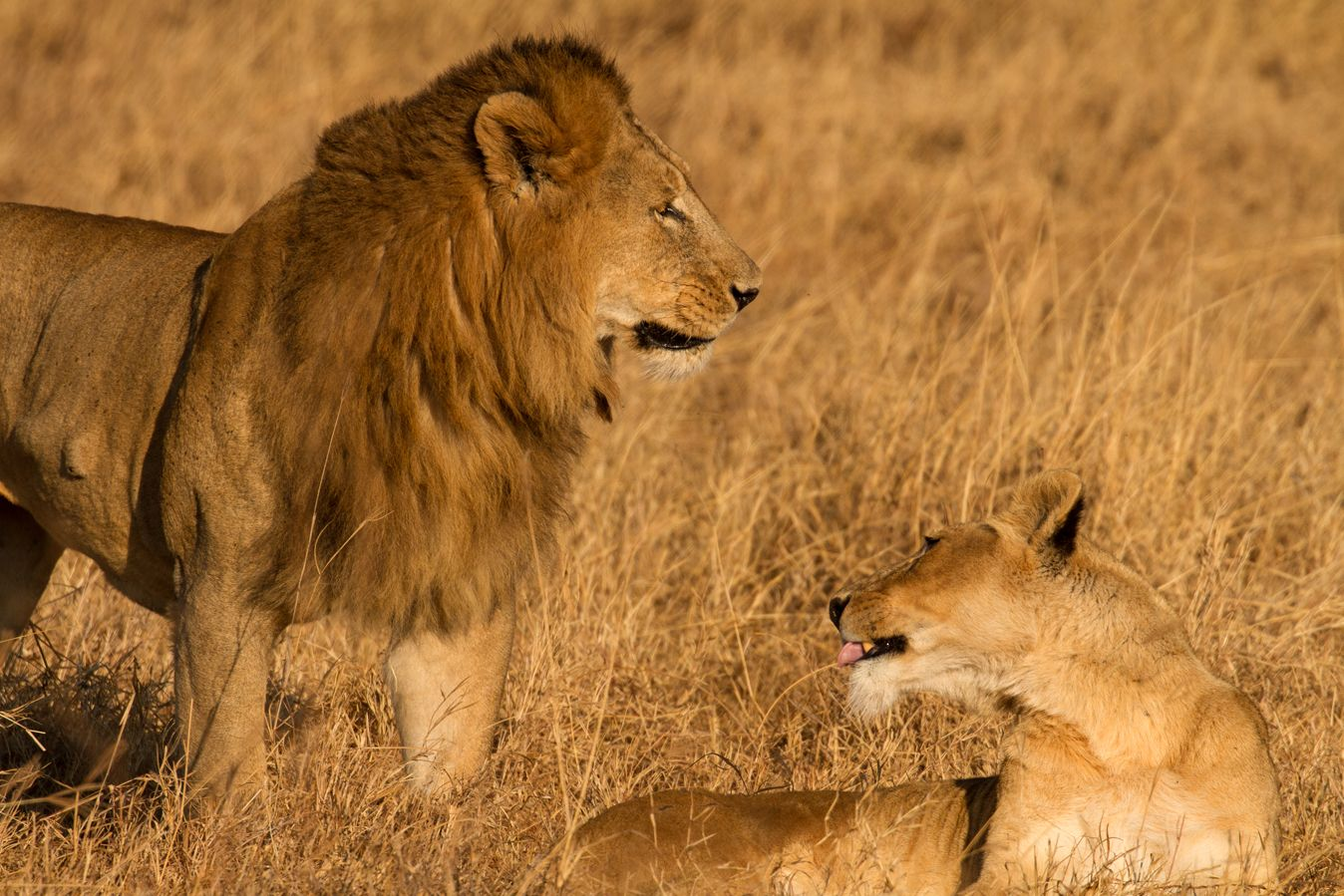 A male and female lion under the protection of the Northern Tanzania Big Cats Conservation Initiative