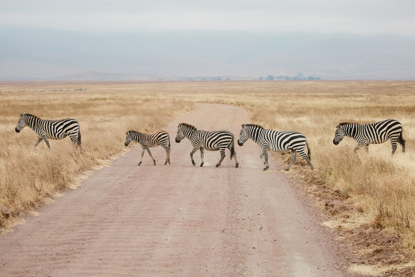 A herd of zebra in the Engaruka Valley landscape in northern Tanzania