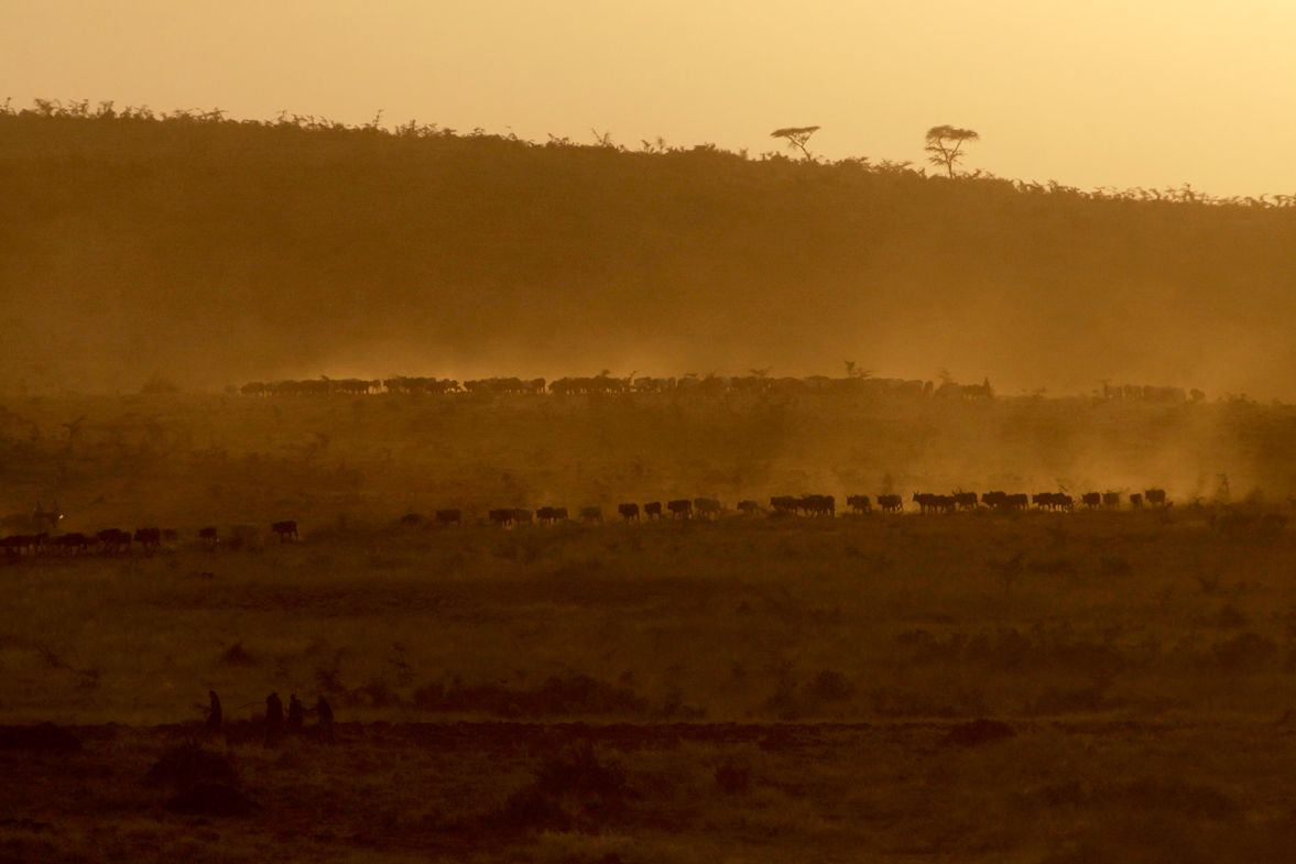 A line of cattle is herded home after spending the day grazing on the Maasai Steppe.