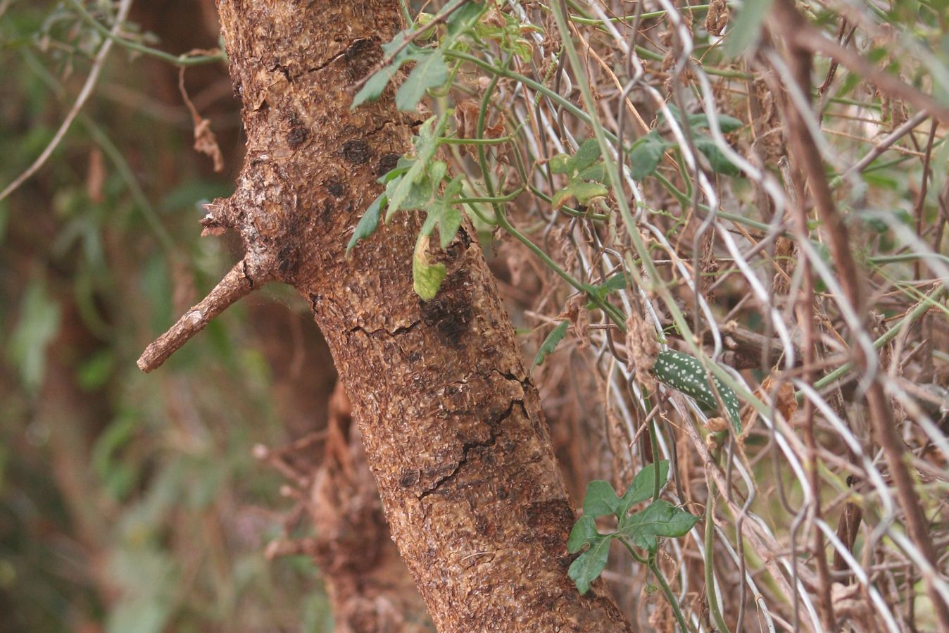 A Commiphora tree branch used in one of APW's Living Walls