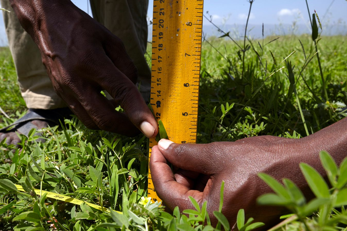 Community rangeland monitors measure grass in a pasture being managed under the Sustainable Rangelands Initiative