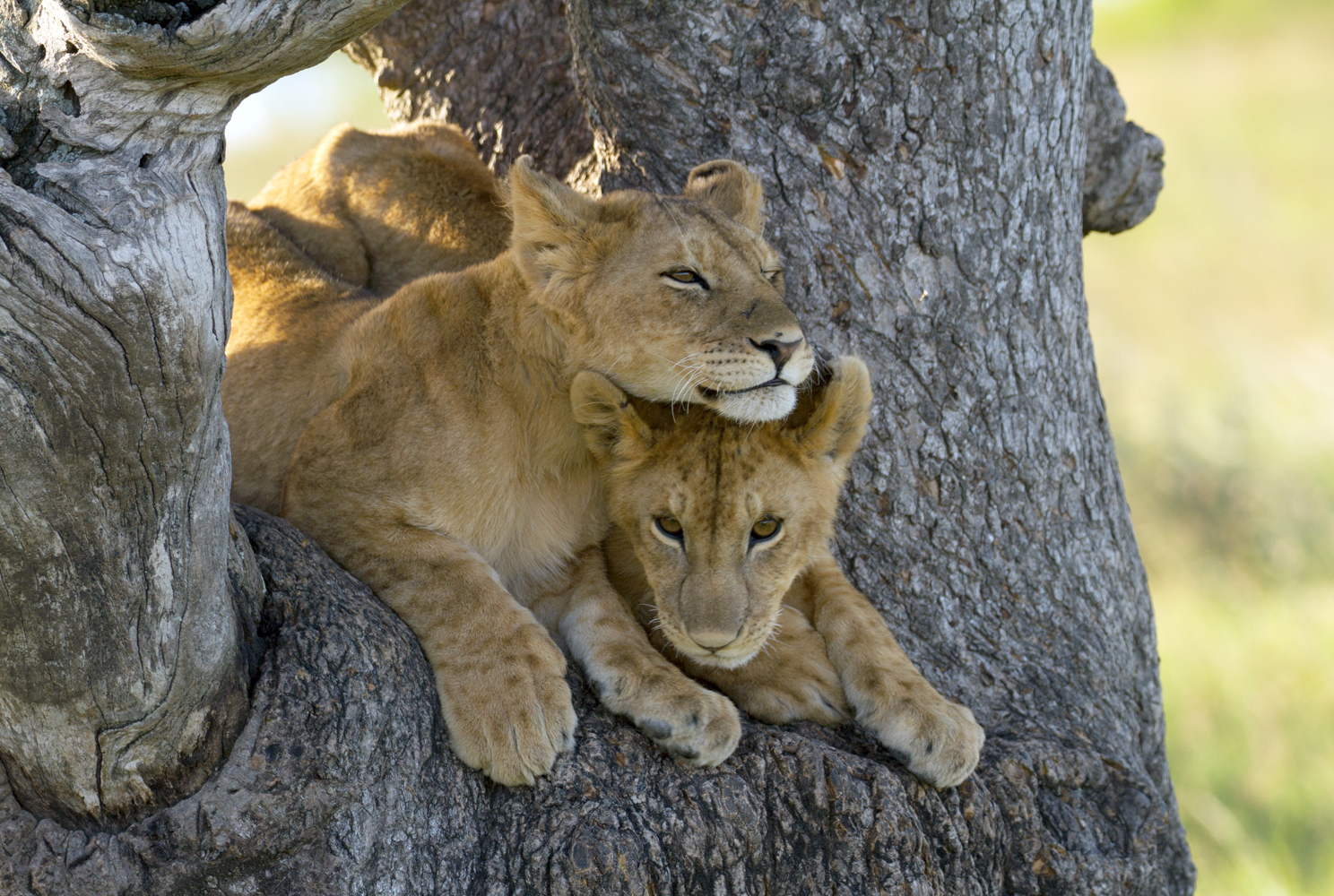 Lion cubs in tree