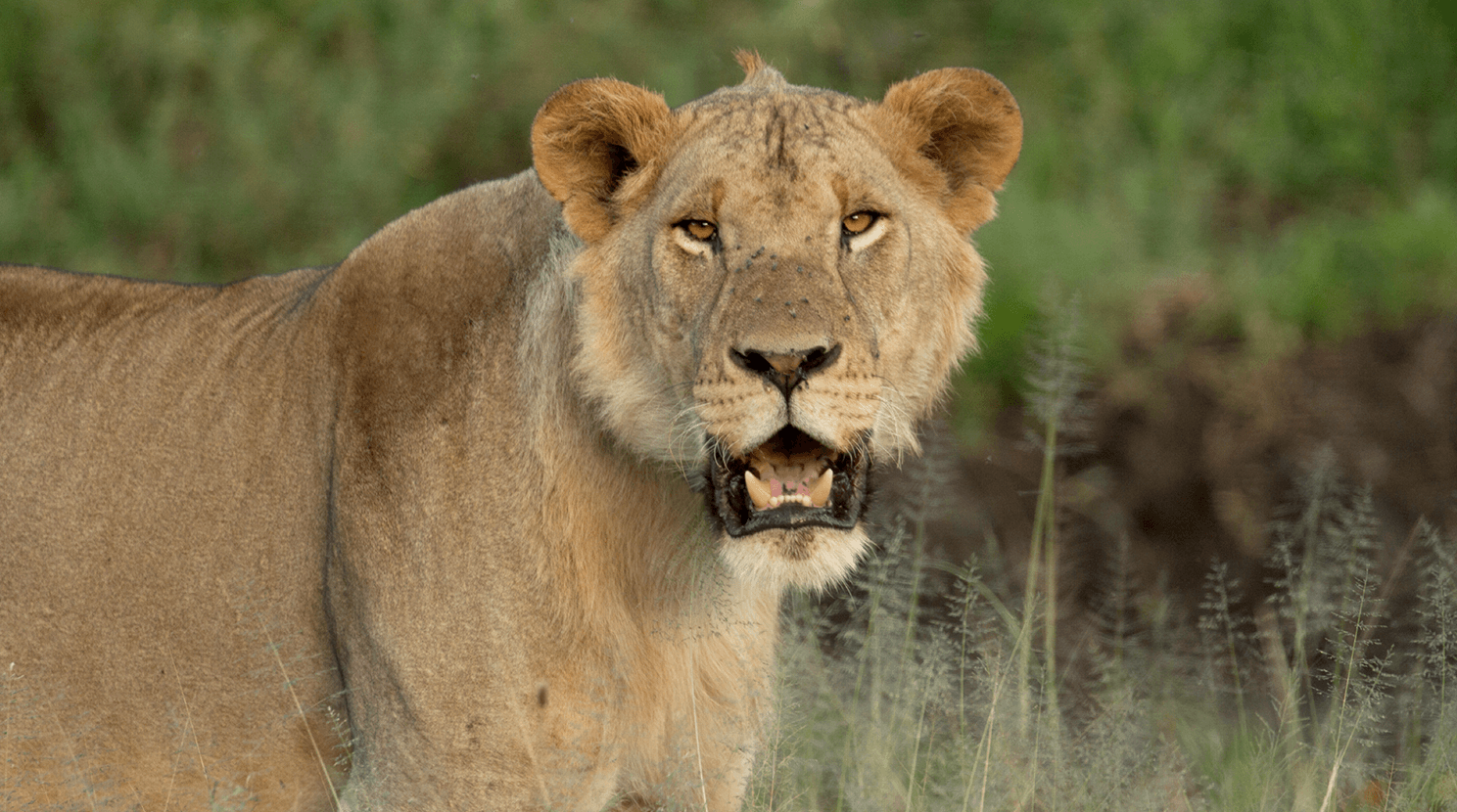 Young male lion in Tanzania