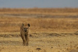 A hyena on the African savanna