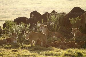 Group of lionesses with cubs