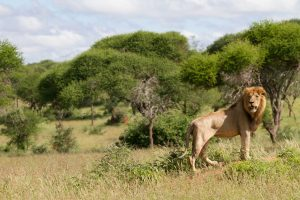 A male lion in the Tanzanian bush