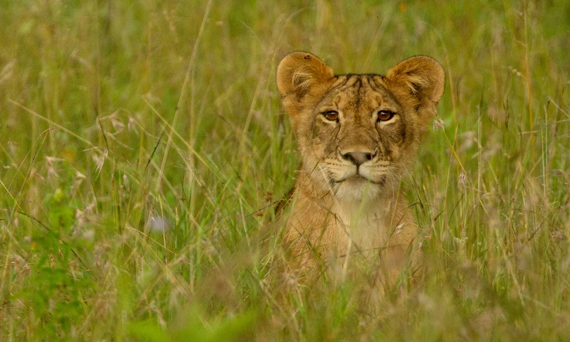 lioness-in-grass-1930x1159 (1)