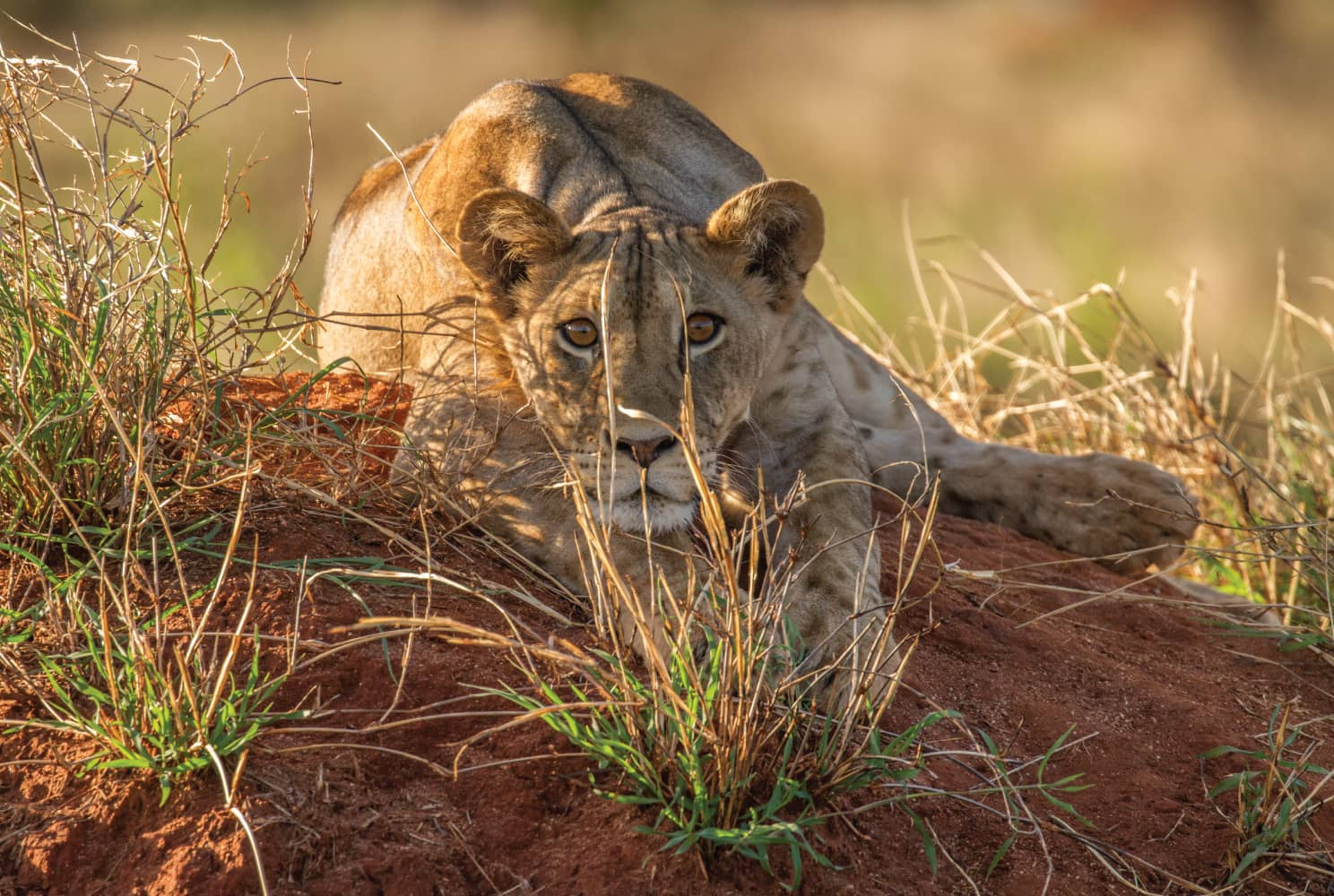 A young lion lays on a mound