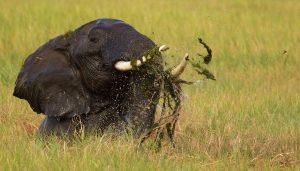 A bull elephant in a swamp