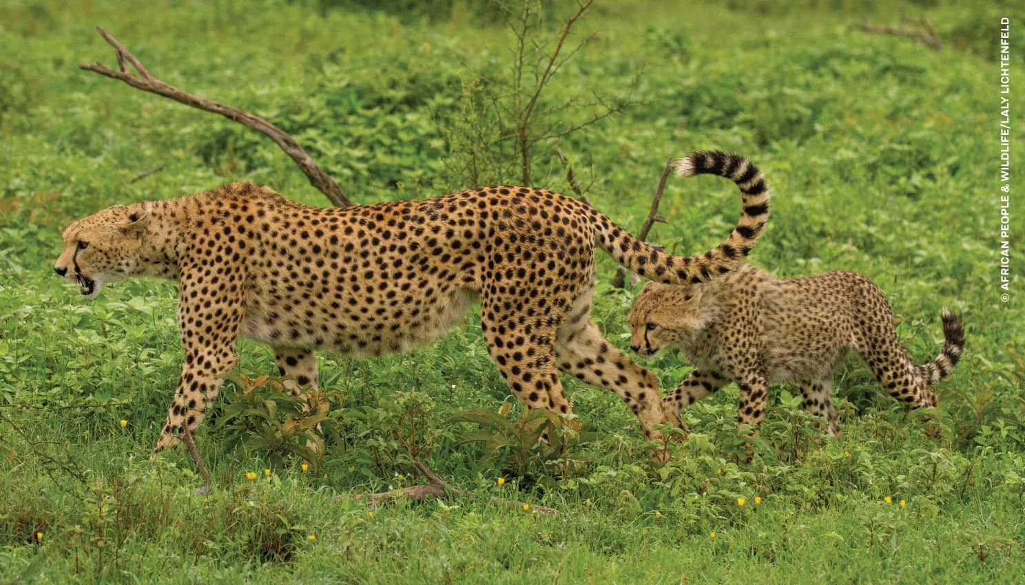 Mother-baby-cheetahs-LalyLichtenfeld