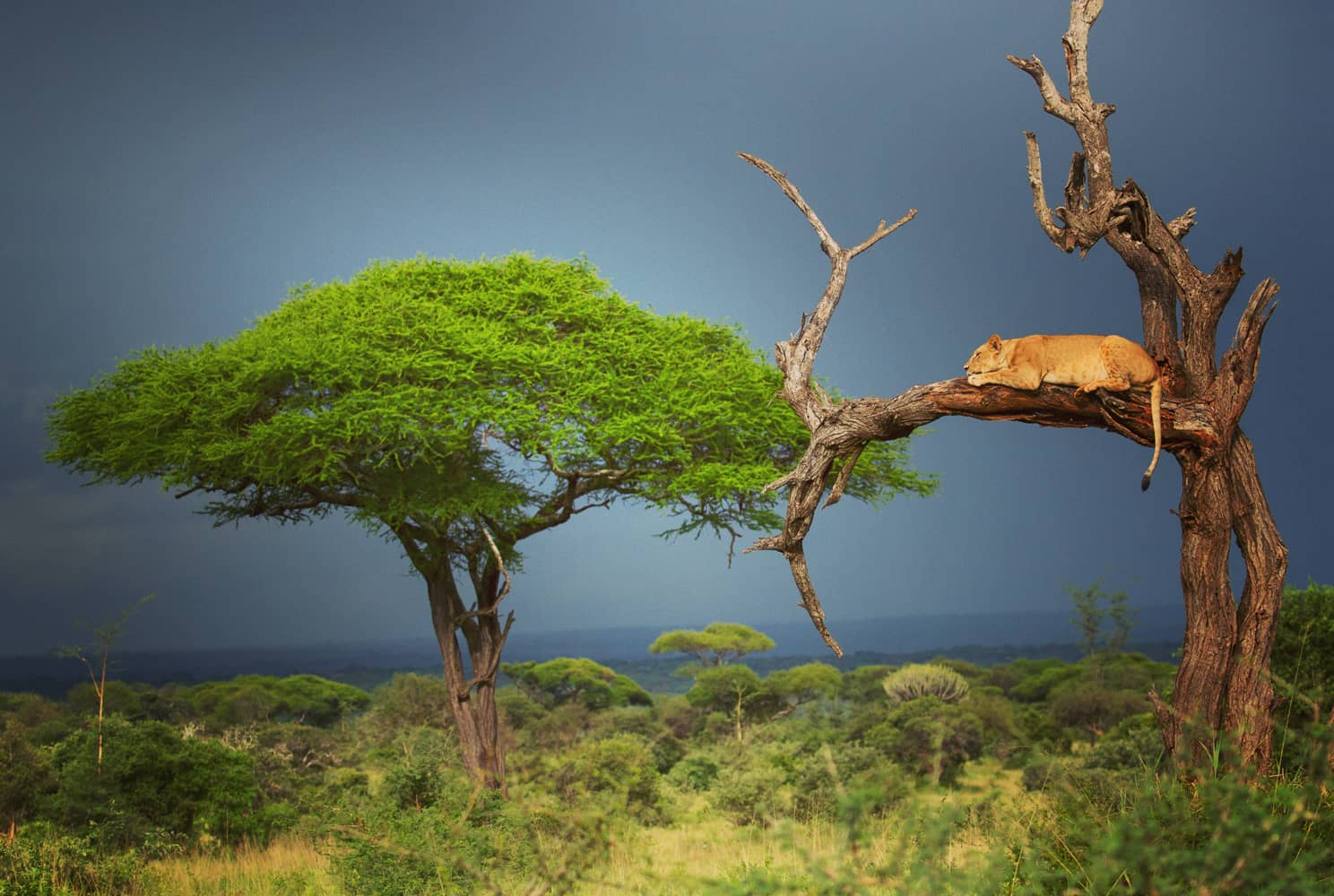Lioness-in-tree-feature -c